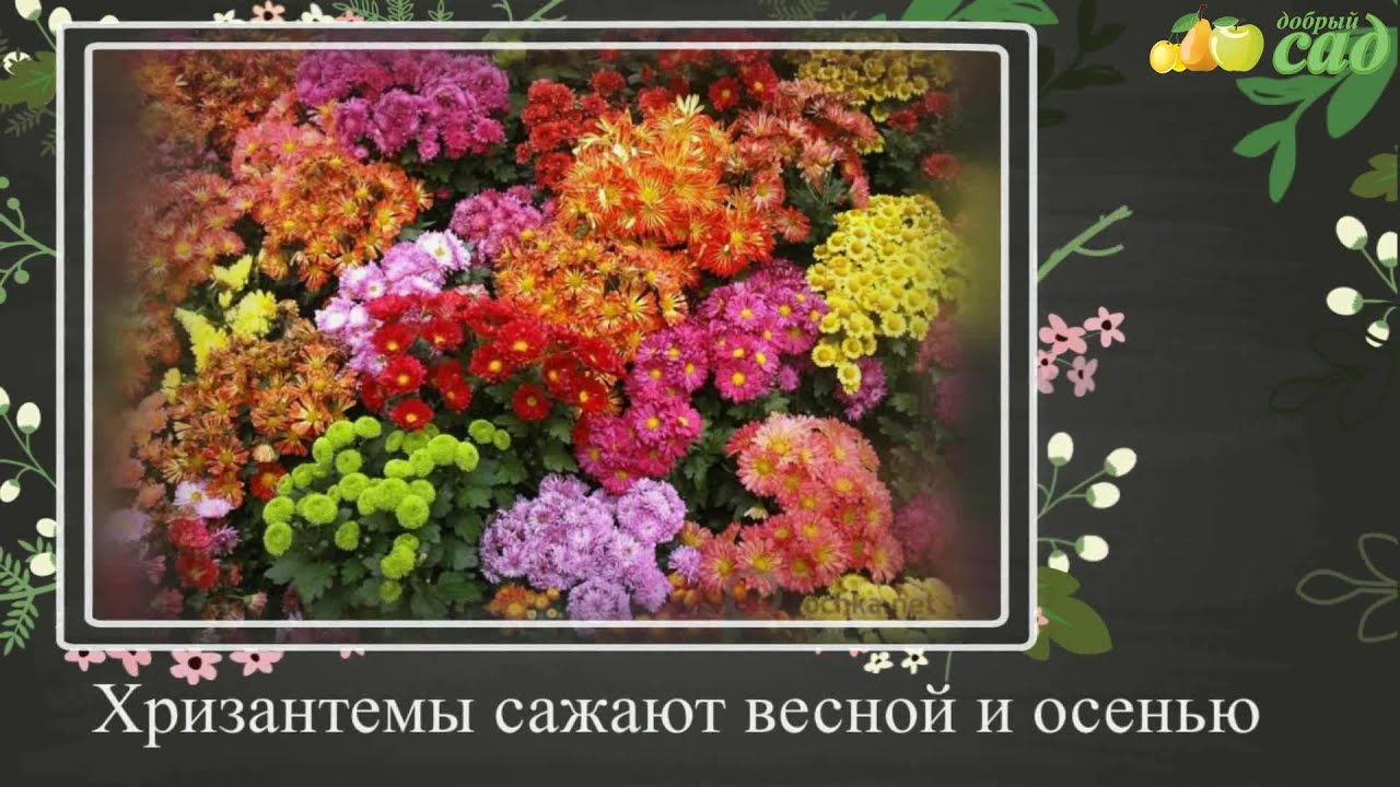 Хризантемы грунтовые сорта, фото, описание. Хризантемы садовые грунтовые корейские купить в интернет-магазине. Купить садовые хризантемы в интернет-магазине питомника можно только весной. Хризантемы можно купить в с-пб в любом количестве. Если вы хотите купить хризантемы.