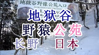 日本之旅:长野县地狱谷野猿公苑在地狱谷野猿公苑和猴子一起泡温泉长野2...
