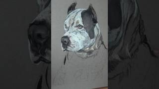 Pet portrait Pitbull ORUS