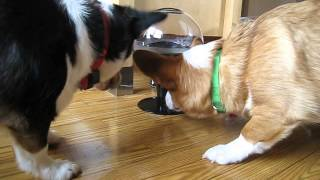 Motion Activated Treat Machine - Corgis