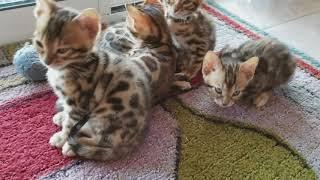 Cazpurr Bengal kittens