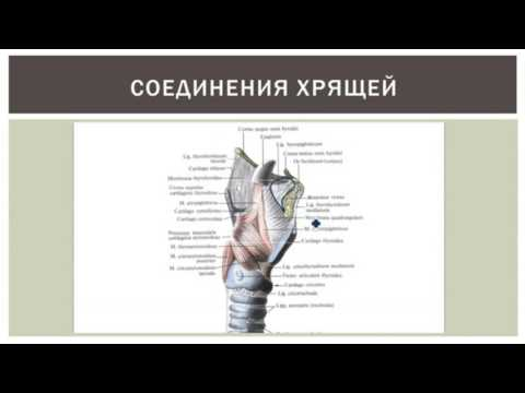 Гортань: строение, функции, кровоснабжение, иннервация, регионарные лимфаузлы