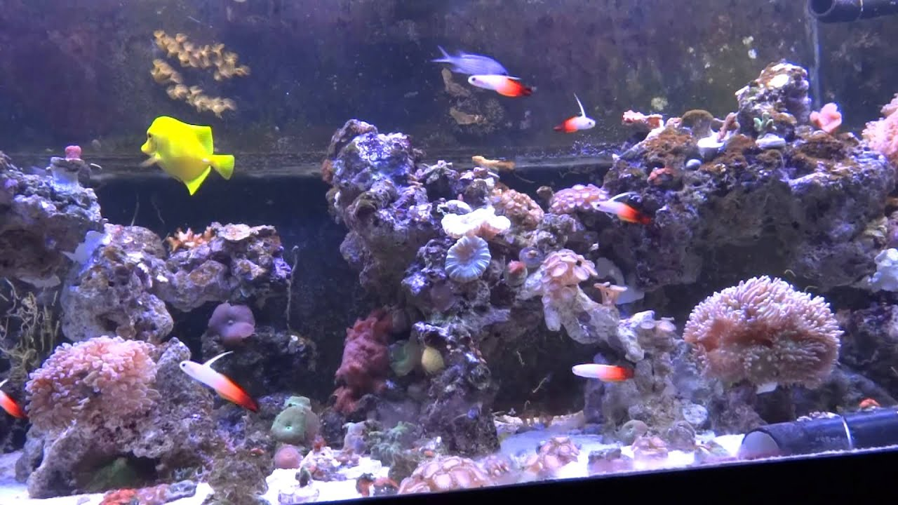 Firefish Goby | Firefish Nemateleotris Magnifica Group In A Reef Tank Youtube