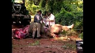 Bloodied dead body of a Rhino during postmortem