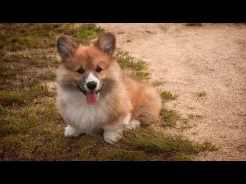 Health Concerns For Welsh Corgis
