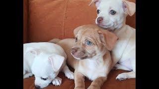 Мои щенки чихуахуа/чем кормить/скоро разберут