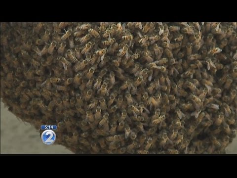 Massive bee swarm relocated from Honolulu airport building