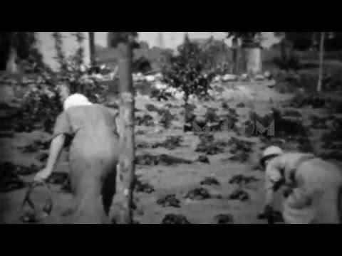 1934: Women harvesting garden during depression era food shortage.  DENVER, COLORADO