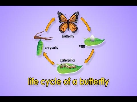 Life Cycle Of A Butterfly | Metamorphosis | Metamorphosis Song ...