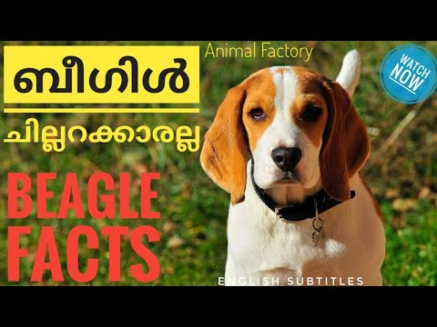 Unknown Facts about Beagle   Malayalam   Animal Factory