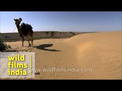 Calotropis procera growing in middle of Thar desert