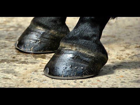 molestias en los caballos tratamiento de pezuñas