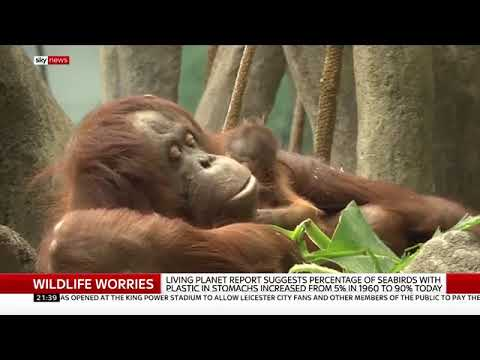 """Ian Redmond discusses the WWF """"60% gone"""" report on Sky News, 1 November 2018"""