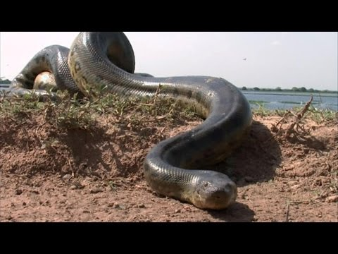 WORLD LARGEST & BIG ANACONDA DEAD !