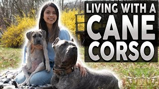 CANE CORSO! What It's Like To Live With A Cane Corso! (feat. Michelle Brasil)