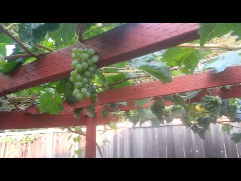 Growing organic grapes in backyard Seattle WA.