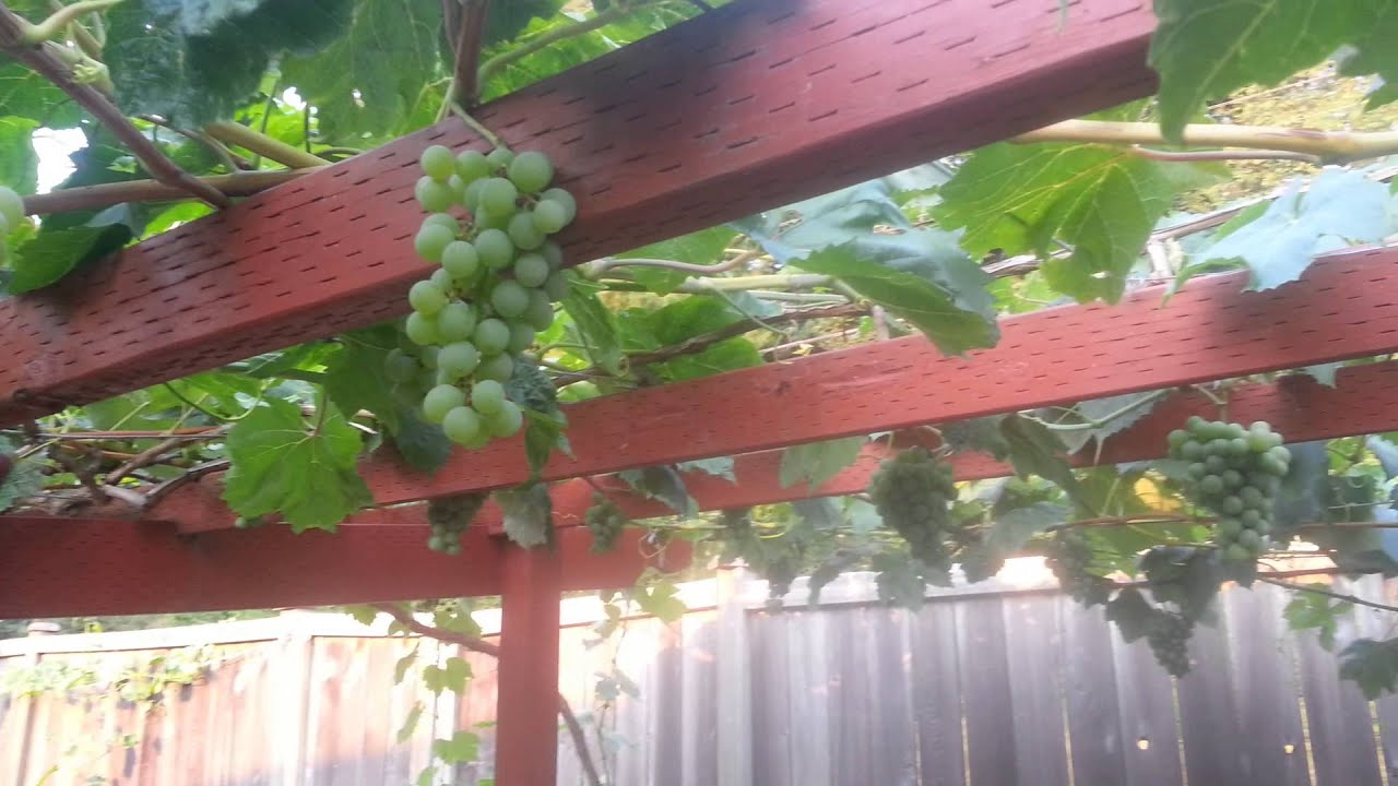 Growing organic grapes in backyard Seattle WA.. - YouTube