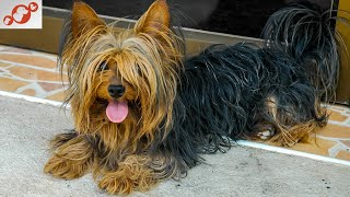 The Yorkshire Terrier Dog – All About Yorkshire Terrier Dogs!