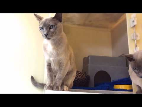 Tonks / Tonkinese type cats, Mini and Lola, are EXTREMELY soft to touch