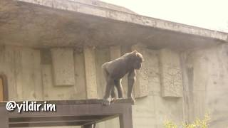 Osuran Maymunlar- Karadeniz Dublaj