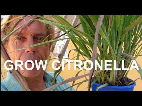 Growing Citronella