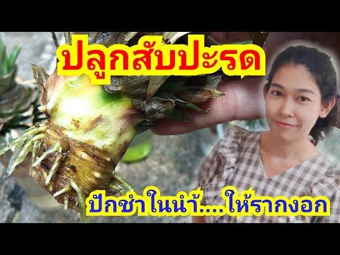ปลูกสับปะรด  ปักชำในน้ำให้รากงอก : nook channel