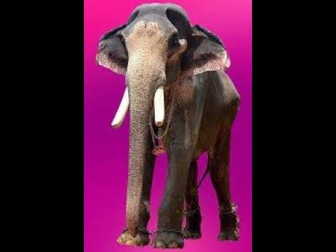 Kandampully Balanarayanan  /Nanu  Ezhuthassan Sivasankaran / star elephant/fallest asian elephant