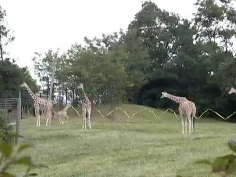 Fort Wayne Zoo baby giraffe