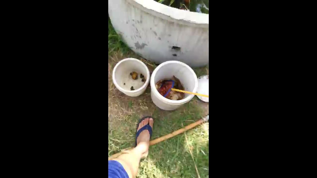 เลี้ยง ปลาดุก หอยเชอรี่ หอยขม หนู ในบ่อซีเมนต์