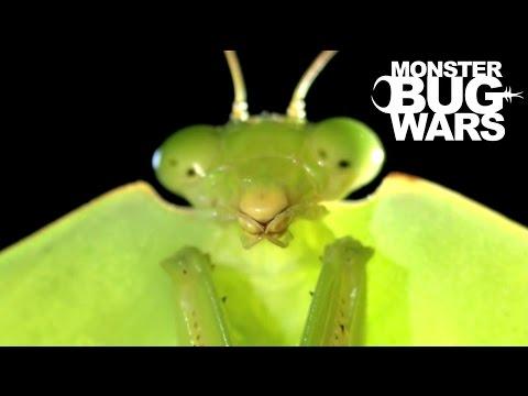 Brazilian Wandering Spider vs  Hooded Mantis   MONSTER BUG WARS