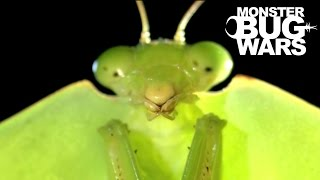 Brazilian Wandering Spider vs  Hooded Mantis | MONSTER BUG WARS