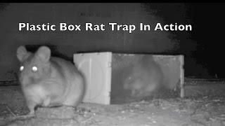 Huge Wood Rat Caught in Plastic Live Catch Box Trap. Rat Trap In Action