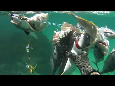 Spearfishing Newcastle NSW - Vol 1
