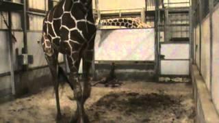 M2Giraffe Birth 13