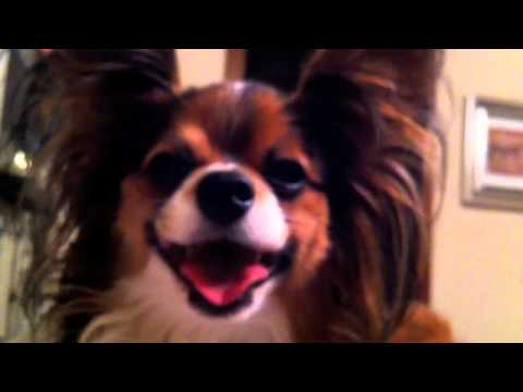 Tracheal Collapse In Dogs Funnycat Tv