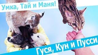 РЫСЬ УМКА И СОБАКИ. Смелый мейн-кун КУНИ и дерзкий бенгальский кот ГУСЯ