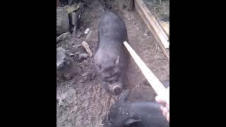 Как приручить свинью? Обморок у свиньи от ласки!) Свинья не может встать))