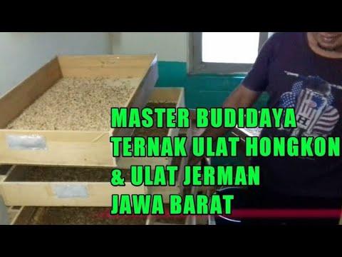 Belajar Budidaya Ulat Hongkong Jerman Dari Master Ternak Jawa Barat Ternak Ulat Hongkong Bgi Pemula Youtube