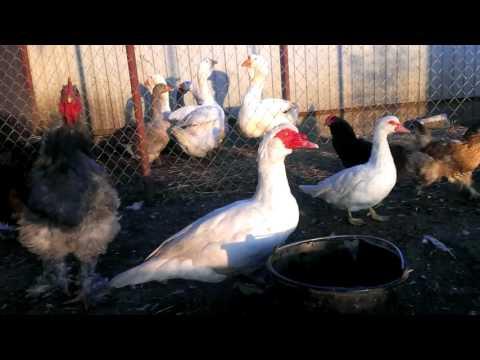 Вопрос: Когда гусей можно переводить в курятник?