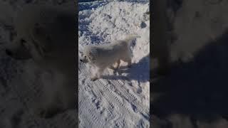 Зуриона Зевс (пиренейская горная собака)4 месяца