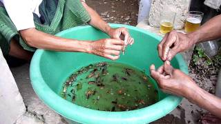Cleaning crickets in Pakse, Laos.
