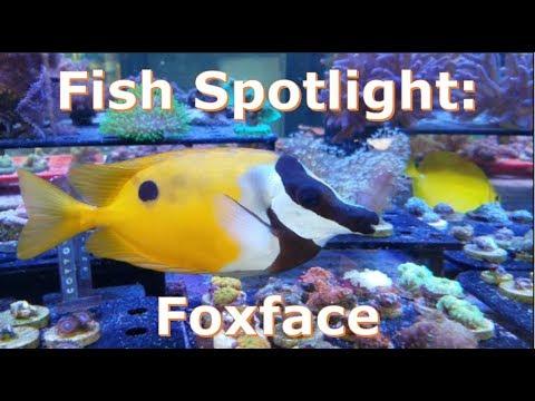 Fish Spotlight: Fox Face