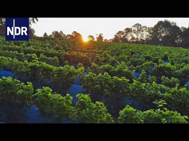 Wetter extrem - Weinanbau statt Heringsfang (3/3)   DIE REPORTAGE   NDR Doku