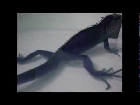Huge Iguana Fart!