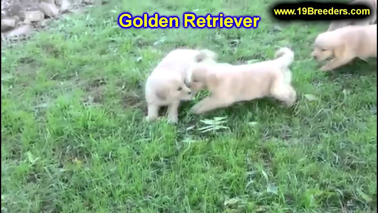 Golden Retriever, Puppies, For, Sale, In, Indianapolis