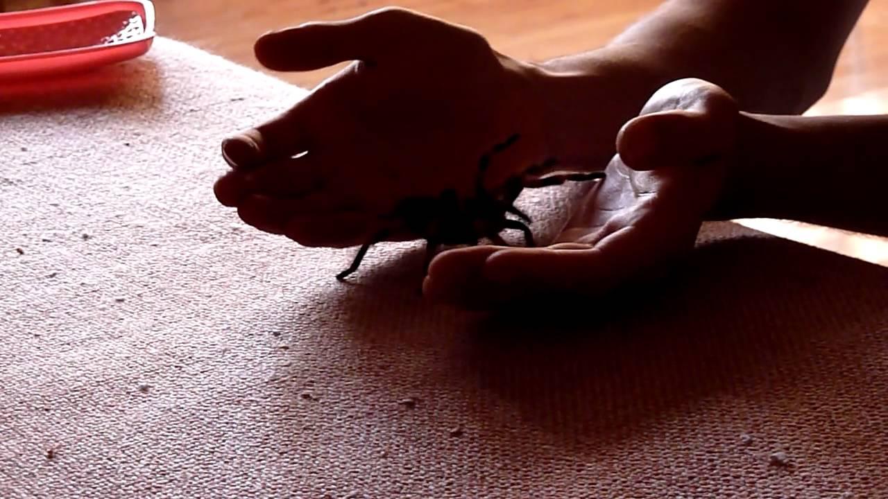 Хотя птицеед голиаф (theraphosa blondi) известен как самый крупный паук в мире, некоторые селекционеры и любители считают совершенно иначе,