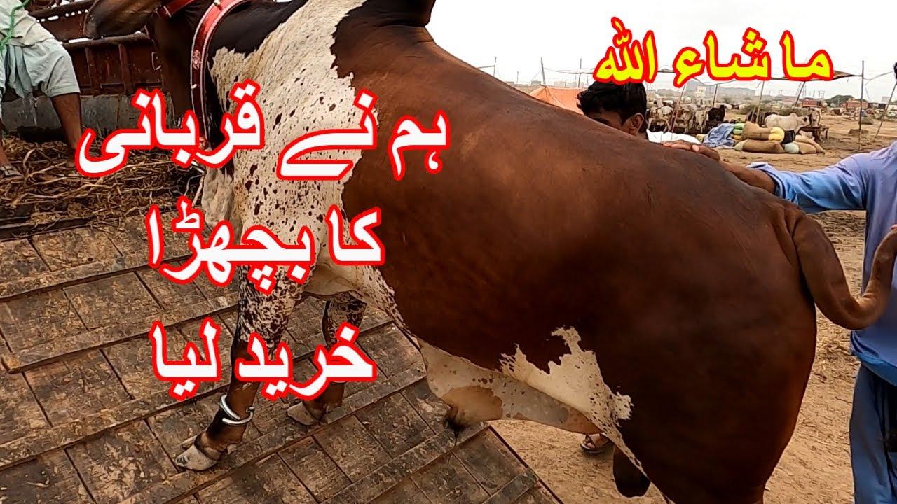 Our Qurbani Bull Purchased From Sohrab Goth Maweshi Mandi