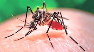 Mutant mosquitos to help fight Zika virus
