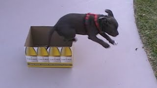 Bella The Staffy Pup | Cute Puppy In A Box | It's Throwback Thursday