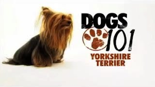 Dogs 101 - Yorkshire Terrier